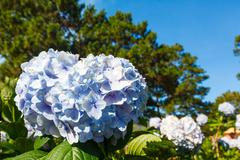 Blue hydrangea flower Stock Photos