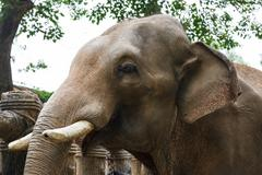head of elephant with tusks at the zoo - stock photo
