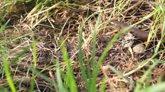 Slow worm glass snake lizard (Anguis fragilis) passing on the grass Stock Footage
