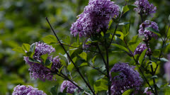 Purple Lilac Shrub Stock Footage