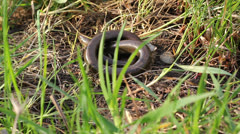 Slow worm glass snake lizard (Anguis fragilis) dissapearing in the grass Stock Footage