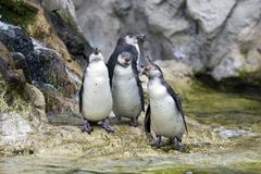 Pinguin in the zoo - stock photo