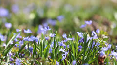 Fresh violet flowers in the spring breeze Stock Footage