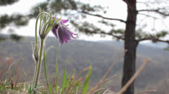 Pulsatilla (Pasque Flower) flowers swaying the wind on brink of forest 2 Stock Footage