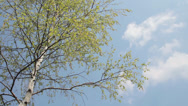 Stock Video Footage of White birch in midday sun, branches moving in wind