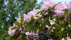 Pink Rhododendrons Stock Footage