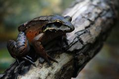 Mountain Chicken Frog on Tree Branch - Close Up - stock photo