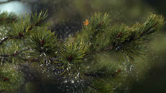 Rain falling over pine tree 2 Stock Footage