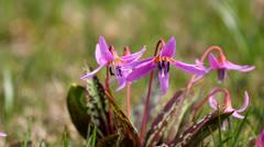Beautiful violet flowers in spring wind breeze Stock Footage