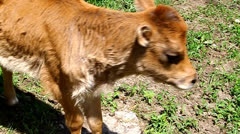 Small calf on the meadow tongue licks itself Stock Footage