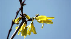 Beautiful spring twig with flower-forsythia against the sky Stock Footage