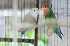 Couple of Colorful African Lovebirds - stock photo