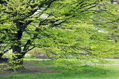 hornbeam tree at spring - stock photo