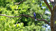 Stock Video Footage of beautiful eastern blue bird in pecan tree 3