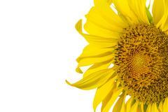 Sun flower isolater on white background Stock Photos