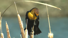 P02836 Yellow-headed Blackbird in Cattails - stock footage