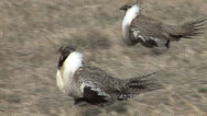 P02806 Sage Grouse Males Walking Stock Footage