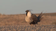 P02823 Sage Grouse Male Displaying on Dancing Ground Stock Footage