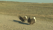 P02835 Sage Grouse Cocks Displaying in Wyoming Stock Footage