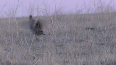P02815 Prairie Chicken Male Displaying on Lek Stock Footage