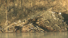 P02839 Beaver Carrying Stick up Beaver Lodge Stock Footage