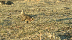 P02830 Sharp-tailed Grouse Male Display on Lek Stock Footage