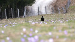 Crow passing over a plain covered with flowers Stock Footage