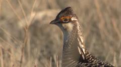 P02819 Prairie Chicken Closeup on Grassland Stock Footage