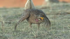 P02828 Male Sharp-tailed Grouse Dancing on Lek Stock Footage