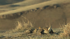 P02831 Male Sharp-tailed Grouse Fighting Slow Motion Stock Footage
