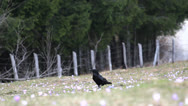 Stock Video Footage of Raven stepping over the field covered with flowers