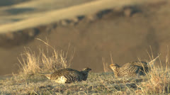 P02829 Sharp-tailed Grouse Males Fighting on Dancing Lek Stock Footage