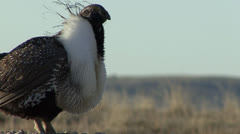 P02808 Sage Grouse Display from Ground Level Stock Footage