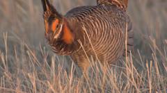 P02816 Prairie Chicken Male Dancing on Lek Stock Footage