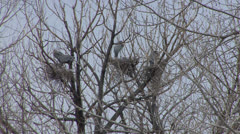 P02805 Blue Heron Rookery Stock Footage