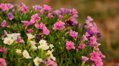 Small petunia in the wind Stock Footage