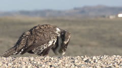 P02824 Sage Grouse Male at Ground Level - stock footage
