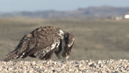 P02824 Sage Grouse Male at Ground Level Stock Footage