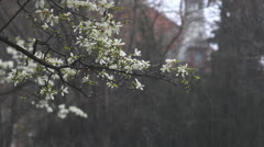 Spring rain on blossom branch Stock Footage