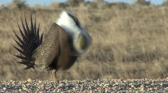 P02807 Male Sage Grouse Booming on Lek - stock footage
