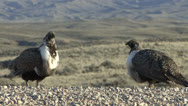 P02809 Sage Grouse Males Aggression Stock Footage