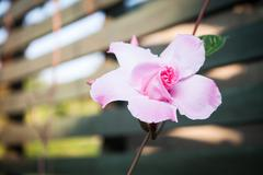 pink rose dipladenia - stock photo