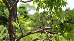 Beautiful eastern blue bird in pecan tree Stock Footage
