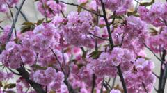 Blossom purple tree Stock Footage