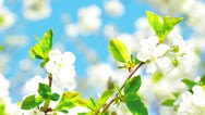Stock Video Footage of apricot flowers blooming in spring
