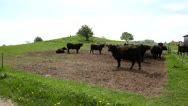 Stock Video Footage of Black cows