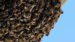 Swarming honey bees developing hive. Stock Footage