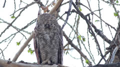 Great Horned Owl Turns Head Stock Footage