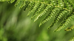 Fern close-up - stock footage