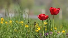 Red tulip in dandelions Stock Footage
